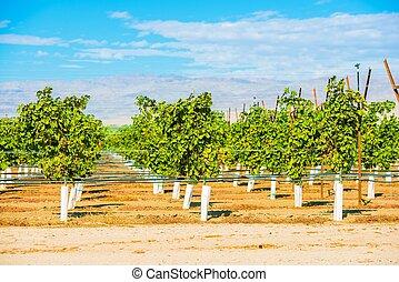 Grapes Plantation Vineyards in Indio, Coachella Valley,...