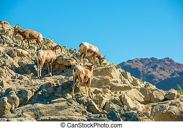 California Bighorn Sheeps on the Rocky Steep Mountain.