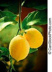 Lemon Tree Branch Vertical Photography. Lemon Branch After...