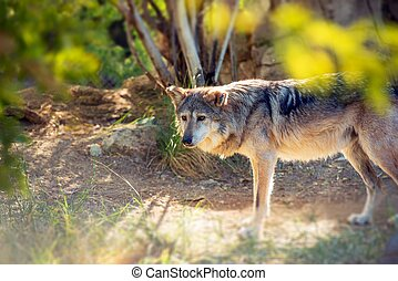 Mexican Wolf Lobo - Mexican Wolf Also Known As Lobo Native...