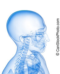 x-ray head and neck - 3d rendered x-ray illustration of a...