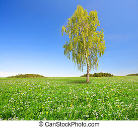 Birch tree on spring meadow.