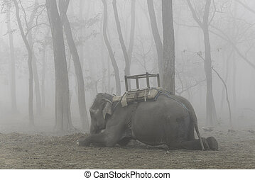 Domesticated elephant lying down, foggy morning in Chitwan,...