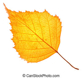 Yellow birch leaf isolated on white