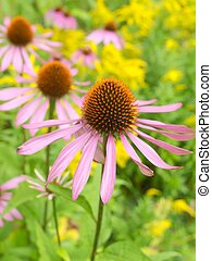 Purple Coneflowers - echinacea - purple coneflowers