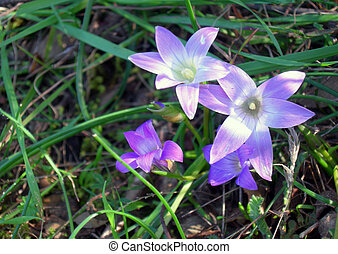 three flower of violet in the green grass in shadow and...