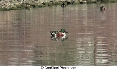 Mallard Duck Swimming Away - Mallard caught in slow-mo while...