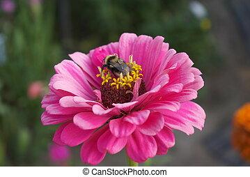 Bumblebee on flower - macro photo of the bumblebee sitting...