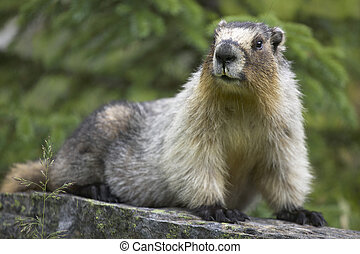 Groundhog with green background in Alberta Canada Horizontal...