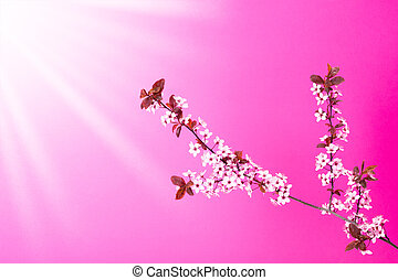 Blooming apple tree branch on pink