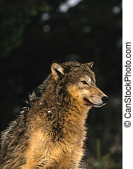 Gray Wolf - a gray wolf sitting with a dark background