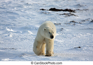 Large polar bear in search of food