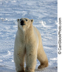 Polar bear sniffing the air on Hudson Bay - Large polar bear...