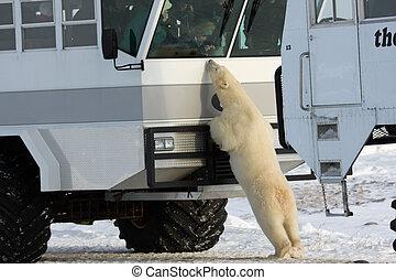 Polar bear and a tundra buggy - Large polar bear on the...