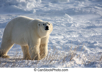 Polar bear sniffing the air - Large polar bear on the arctic...
