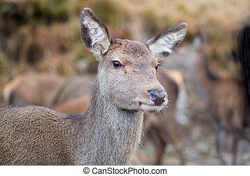 Female doe deer