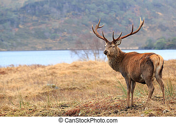 Reindeer - male stag standing in the forest