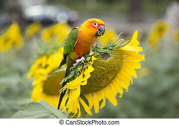 Fields of sunflowers and parrot bird.