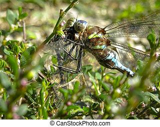 Closeup of Dragonfly Feeding on Prey