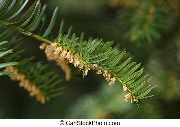 Yew or Taxus baccata green leaves and flowers - Yew or Taxus...