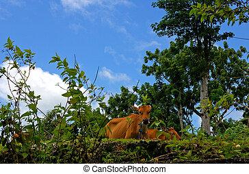 Kühe, Landschaft, weiden
