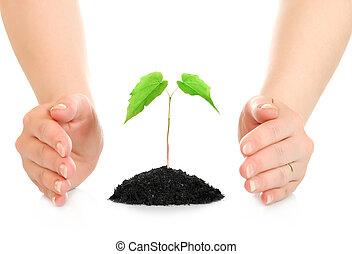 mulher, mãos, protegendo, pequeno, verde, planta,