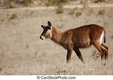 Antilope rouanne - a young antelope Rouanne runs through the...