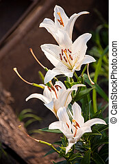 madonna lily - four beauty madonna lilies on the dark ground...