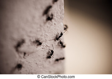 Group of carpenter ants on the wall. Close up