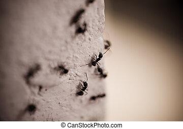 grupo, de, carpintero, hormigas, en, el, pared,