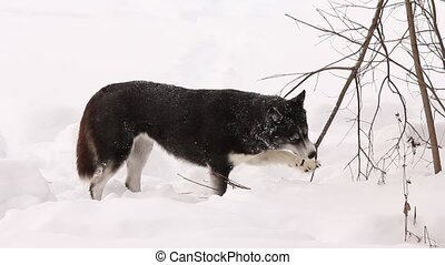 Husky gnaws a tree in winter - Dog Husky gnaws a tree in...