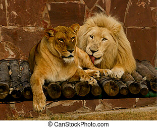 Lions love - Lions couple in the zoo lying together