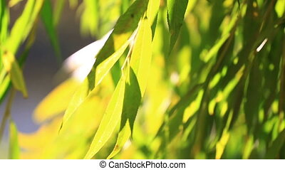 Green branches of a willow, the lit with the bright autumn sun, close up