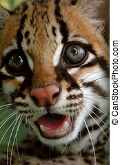 The ocelot or dwarf leopard Leopardus pardalis that lives in...