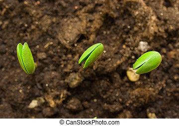 tres, pequeño, planta, soja