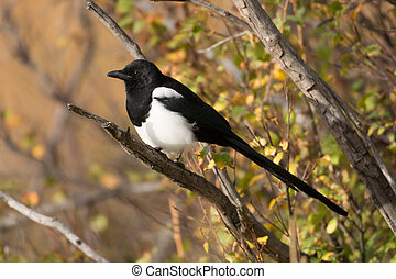 Black-billed magpie - A black-billed magpie perched on a...