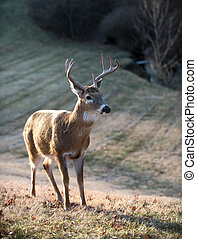 White-tailed deer buck - Whitetailed deer buck in a meadow...