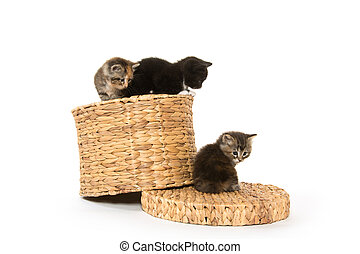 cute kittens on basket - Cute baby kittens playing on a...