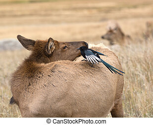 Magpie and cow elk - A black-billed magpie perched on the...