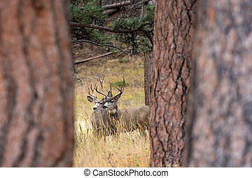 Two mule deer framed by trees in Rocky Mountain National...