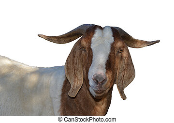 Boer Goat - A male Boer Goat isolated on white.
