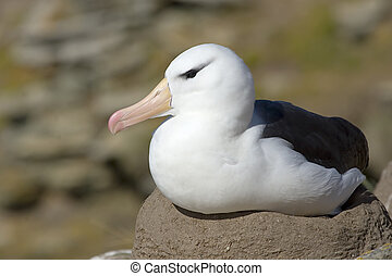 Black-browed albatross (Diomedea melanophris) - Black-browed...