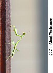 Praying Mantis (Stagmomantus carolina) - Close up of young...
