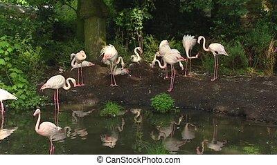 European flamingo phoenicopterus ruber roseus at pond