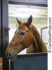 thoroughbred horse - beautiful thoroughbred horse in stall...