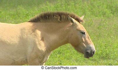 Sleepy Przewalski's horse (Equus ferus przewalskii) also...