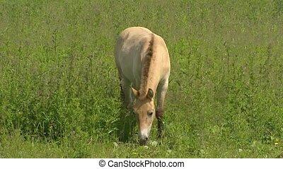 Przewalski's horse (Equus ferus przewalskii) foal grazing