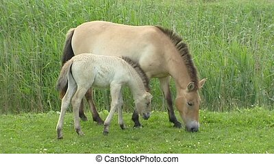 Przewalskis horse Equus ferus przewalskii mare and foal...