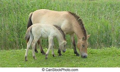 Przewalski's horse (Equus ferus przewalskii) mare and foal...