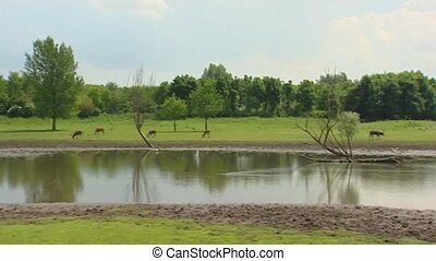 Swamp with Pere Davids Deer Elaphurus davidianus or Milu...